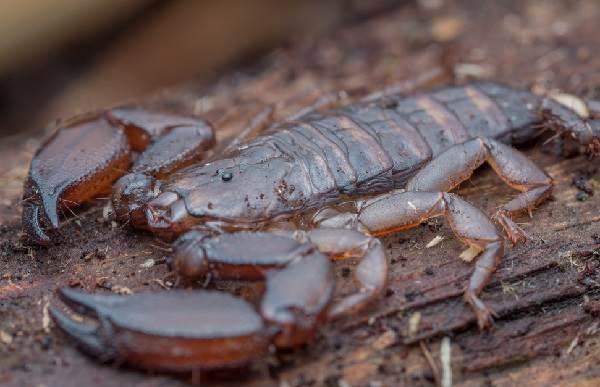 Скорпион-животное-Описание-особенности-виды-образ-жизни-и-среда-обитания-скорпиона-9