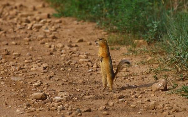 Суслик-животное-Описание-особенности-виды-образ-жизни-и-среда-обитания-суслика-12