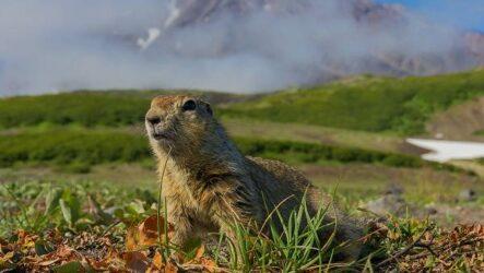 Суслик животное. Описание, особенности, виды, образ жизни и среда обитания суслика