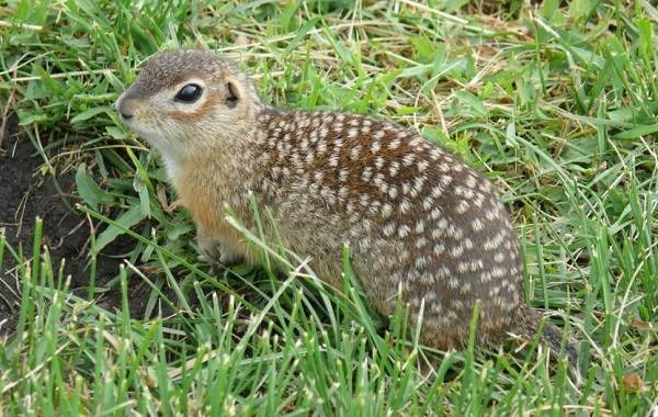 Суслик-животное-Описание-особенности-виды-образ-жизни-и-среда-обитания-суслика-9
