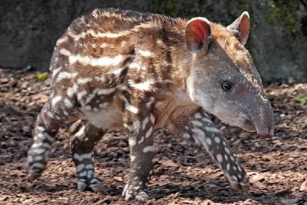 Тапир-животное-Описание-особенности-виды-образ-жизни-и-среда-обитания-тапира-1
