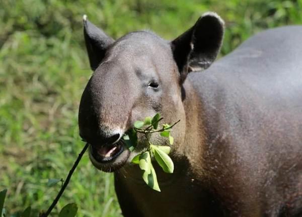 Тапир-животное-Описание-особенности-виды-образ-жизни-и-среда-обитания-тапира-10