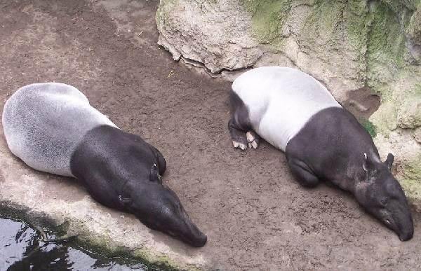 Тапир-животное-Описание-особенности-виды-образ-жизни-и-среда-обитания-тапира-2