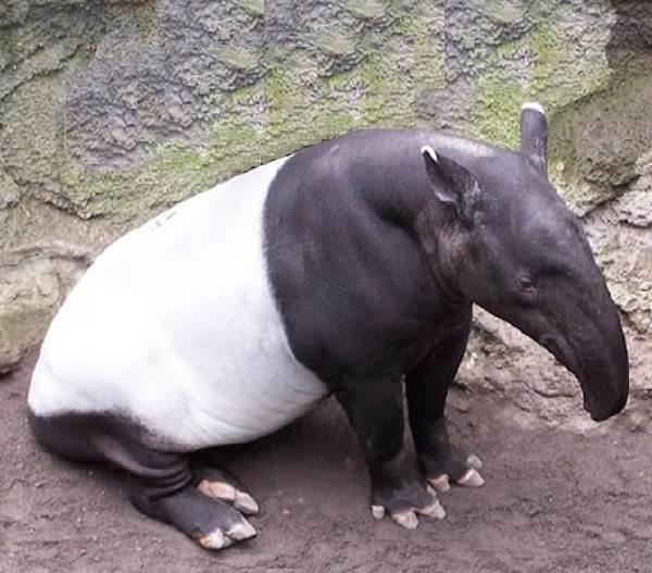 Тапир-животное-Описание-особенности-виды-образ-жизни-и-среда-обитания-тапира-3