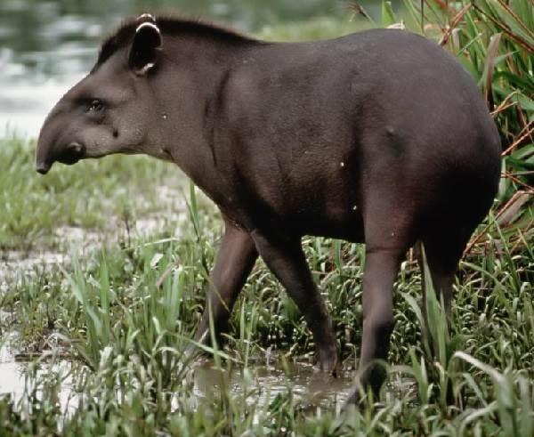 Тапир-животное-Описание-особенности-виды-образ-жизни-и-среда-обитания-тапира-4