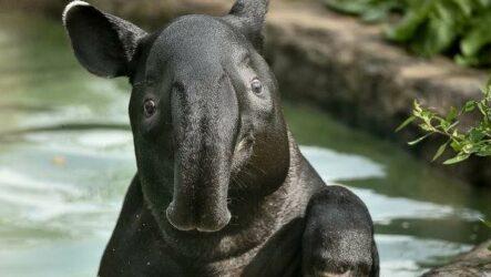 Тапир животное. Описание, особенности, виды, образ жизни и среда обитания тапира