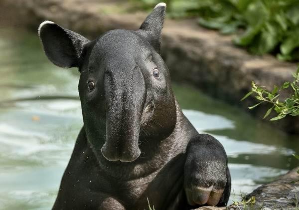 Тапир-животное-Описание-особенности-виды-образ-жизни-и-среда-обитания-тапира-5