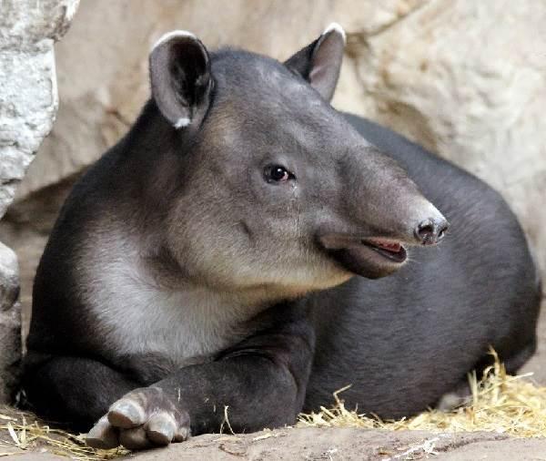 Тапир-животное-Описание-особенности-виды-образ-жизни-и-среда-обитания-тапира-6
