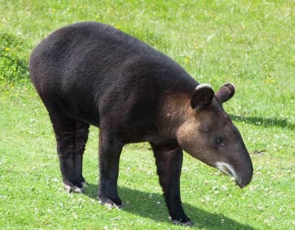 Тапир-животное-Описание-особенности-виды-образ-жизни-и-среда-обитания-тапира-7