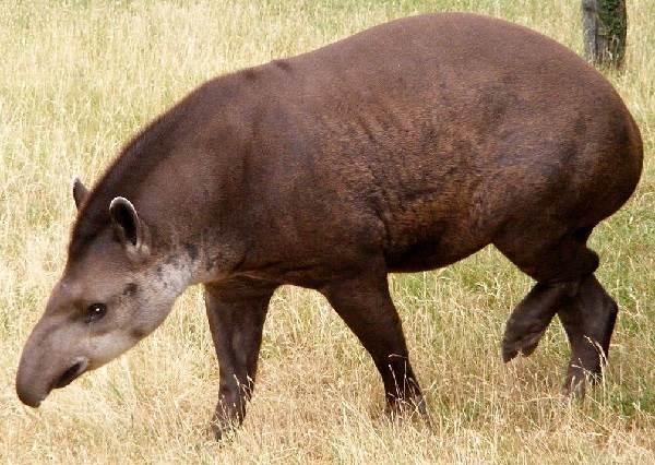 Тапир-животное-Описание-особенности-виды-образ-жизни-и-среда-обитания-тапира-8