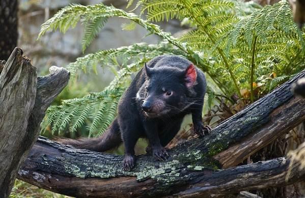 Тасманский-дьявол-Описание-особенности-виды-образ-жизни-и-среда-обитания-тасманского-дьявола-10