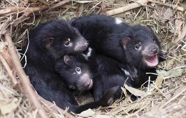 Тасманский-дьявол-Описание-особенности-виды-образ-жизни-и-среда-обитания-тасманского-дьявола-11
