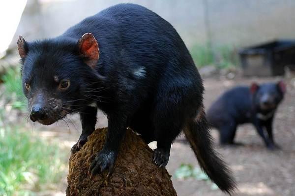 Тасманский-дьявол-Описание-особенности-виды-образ-жизни-и-среда-обитания-тасманского-дьявола-12