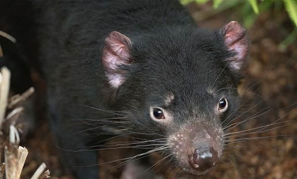 Тасманский-дьявол-Описание-особенности-виды-образ-жизни-и-среда-обитания-тасманского-дьявола-2