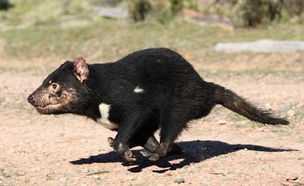Тасманский-дьявол-Описание-особенности-виды-образ-жизни-и-среда-обитания-тасманского-дьявола-3