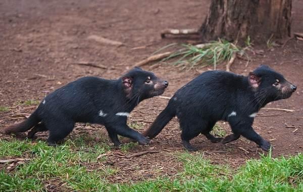 Тасманский-дьявол-Описание-особенности-виды-образ-жизни-и-среда-обитания-тасманского-дьявола-4