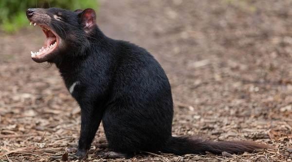 Тасманский-дьявол-Описание-особенности-виды-образ-жизни-и-среда-обитания-тасманского-дьявола-6