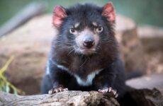 Тасманский дьявол. Описание, особенности, виды, образ жизни и среда обитания тасманского дьявола