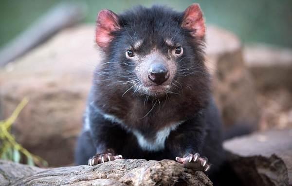 Тасманский-дьявол-Описание-особенности-виды-образ-жизни-и-среда-обитания-тасманского-дьявола-7