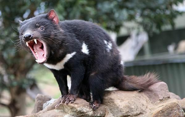 Тасманский-дьявол-Описание-особенности-виды-образ-жизни-и-среда-обитания-тасманского-дьявола-8
