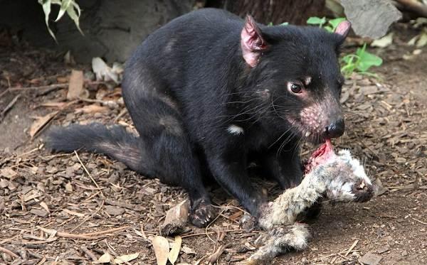 Тасманский-дьявол-Описание-особенности-виды-образ-жизни-и-среда-обитания-тасманского-дьявола-9