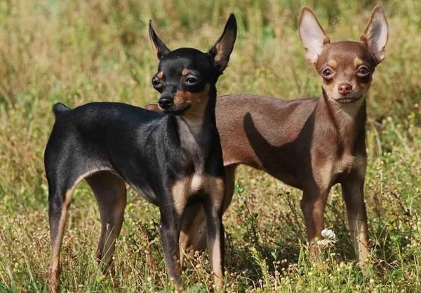 Той-терьер-собака-Описание-особенности-цена-уход-и-содержание-той-терьера-1