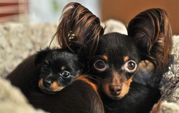 Той-терьер-собака-Описание-особенности-цена-уход-и-содержание-той-терьера-11