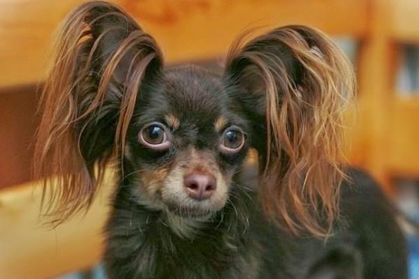Той-терьер-собака-Описание-особенности-цена-уход-и-содержание-той-терьера-12