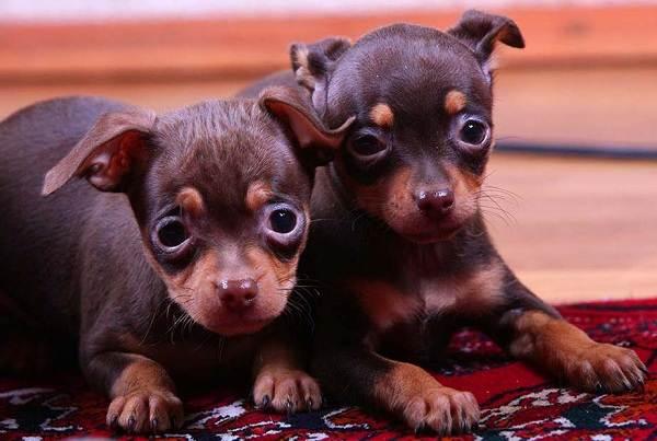 Той-терьер-собака-Описание-особенности-цена-уход-и-содержание-той-терьера-15