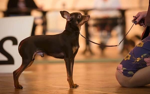 Той-терьер-собака-Описание-особенности-цена-уход-и-содержание-той-терьера-16