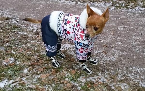 Той-терьер-собака-Описание-особенности-цена-уход-и-содержание-той-терьера-17
