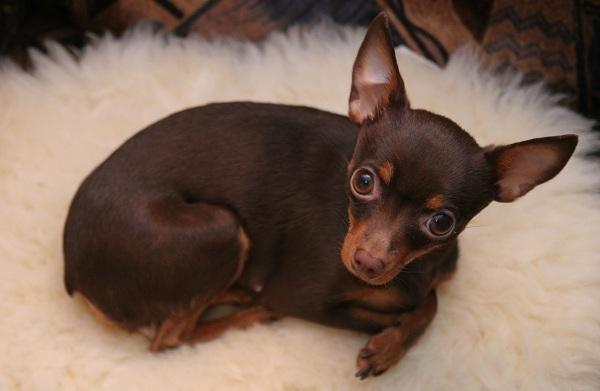 Той-терьер-собака-Описание-особенности-цена-уход-и-содержание-той-терьера-18