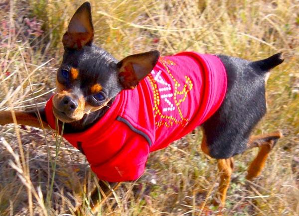 Той-терьер-собака-Описание-особенности-цена-уход-и-содержание-той-терьера-19