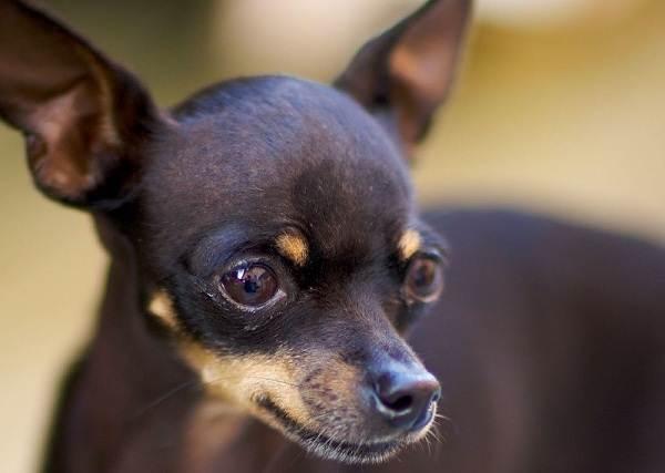 Той-терьер-собака-Описание-особенности-цена-уход-и-содержание-той-терьера-2