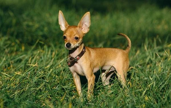 Той-терьер-собака-Описание-особенности-цена-уход-и-содержание-той-терьера-22