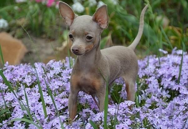 Той-терьер-собака-Описание-особенности-цена-уход-и-содержание-той-терьера-3