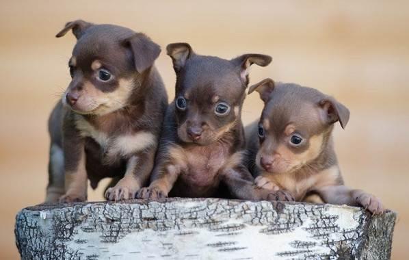Той-терьер-собака-Описание-особенности-цена-уход-и-содержание-той-терьера-4