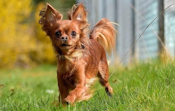 Той-терьер-собака-Описание-особенности-цена-уход-и-содержание-той-терьера-5