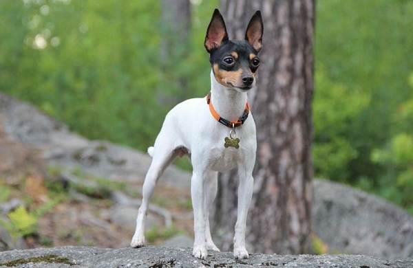 Той-терьер-собака-Описание-особенности-цена-уход-и-содержание-той-терьера-8