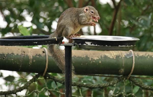 Тупайя-животное-Описание-особенности-виды-образ-жизни-и-среда-обитания-тупайи-10