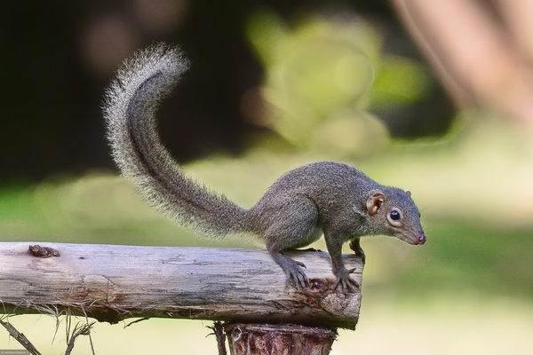 Тупайя-животное-Описание-особенности-виды-образ-жизни-и-среда-обитания-тупайи-11