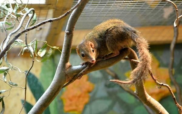 Тупайя-животное-Описание-особенности-виды-образ-жизни-и-среда-обитания-тупайи-12