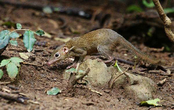 Тупайя-животное-Описание-особенности-виды-образ-жизни-и-среда-обитания-тупайи-14
