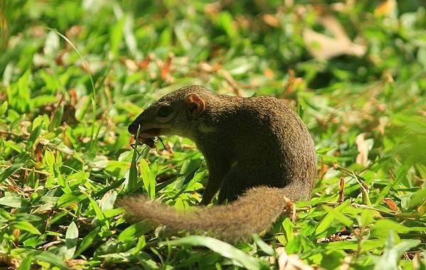 Тупайя-животное-Описание-особенности-виды-образ-жизни-и-среда-обитания-тупайи-15