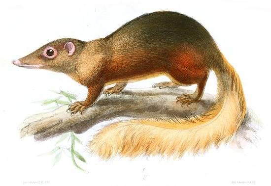 Тупайя-животное-Описание-особенности-виды-образ-жизни-и-среда-обитания-тупайи-17