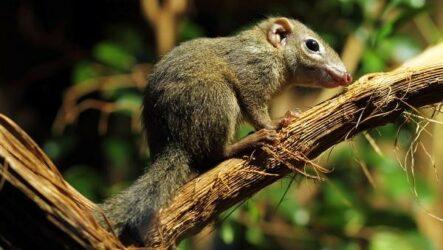Тупайя животное. Описание, особенности, виды, образ жизни и среда обитания тупайи