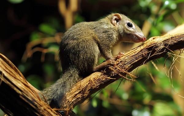 Тупайя-животное-Описание-особенности-виды-образ-жизни-и-среда-обитания-тупайи-18