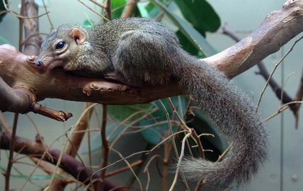 Тупайя-животное-Описание-особенности-виды-образ-жизни-и-среда-обитания-тупайи-19