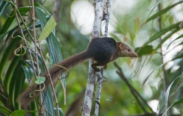 Тупайя-животное-Описание-особенности-виды-образ-жизни-и-среда-обитания-тупайи-20