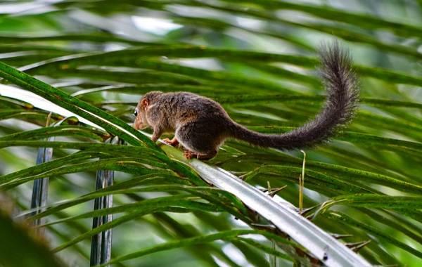 Тупайя-животное-Описание-особенности-виды-образ-жизни-и-среда-обитания-тупайи-3